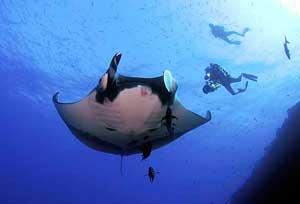 manta raya gigante, Maldivas, y buzos