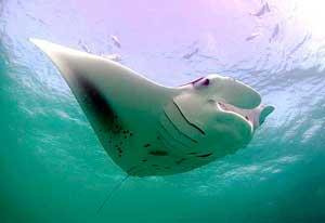 manta raya gigante de las Maldivas