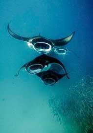 mantas raya se alimentan de un banco de peces