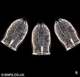 medusas Aglanthe digitale