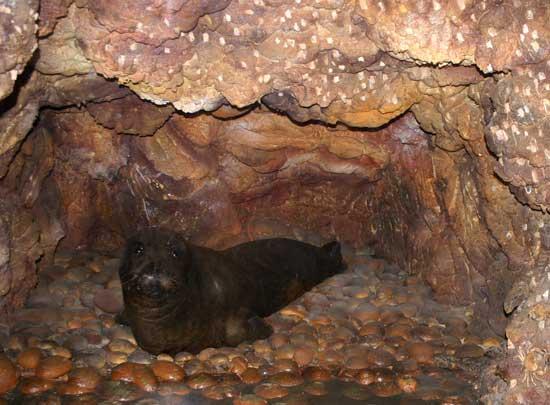 Monachus monachus (foca monje del Mediterráneo)