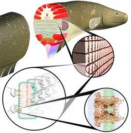 órganos eléctricos de la anguila