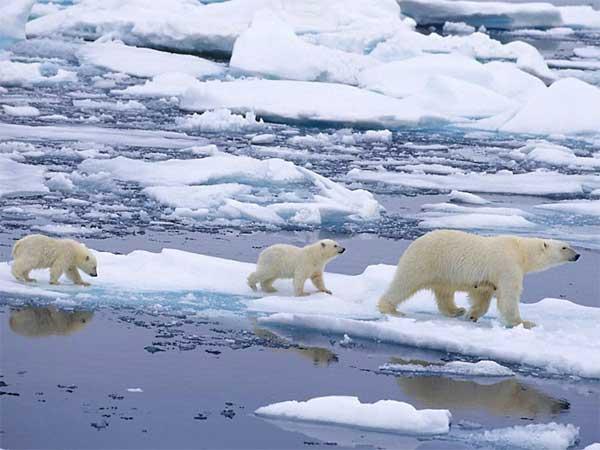 osa polar y su cachorros