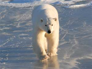 oso polar en la Bahía de Hudson