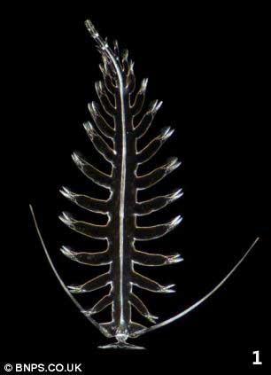 gusano marino paddle