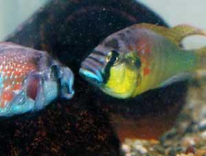 peces ciclídos africanos