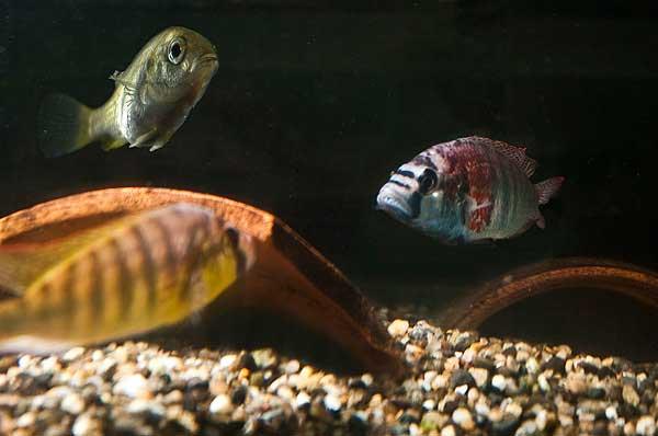 peces ciclídos en combate