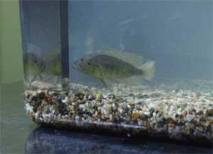 pez ciclído en una pecera