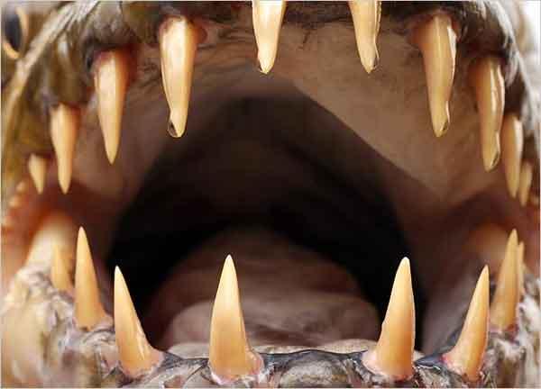 pez tigre goliat, primer plano de los dientes