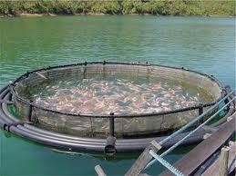 piscifactoría de tilapia