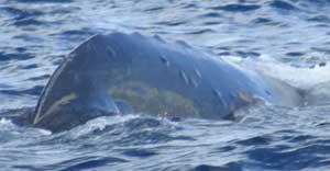 quemaduras en la piel de una ballena azul