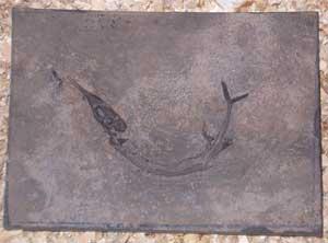 saurichthys fósil china