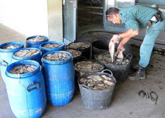 El Seprona incauta pulpos en Benicarló