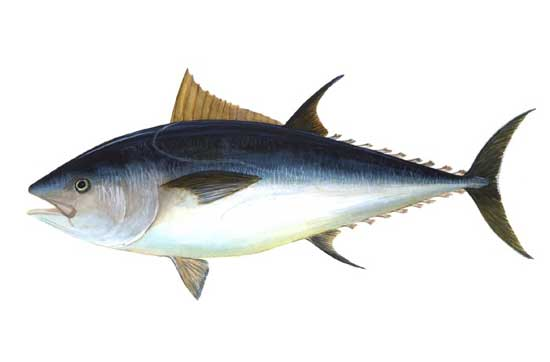 Thunnus thynnus (atún rojo del Atántico y el Mediterráneo)