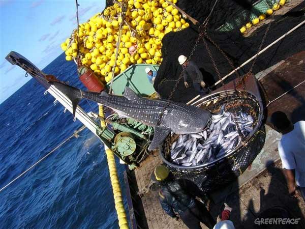 tiburón ballena en una red de pesca de atún