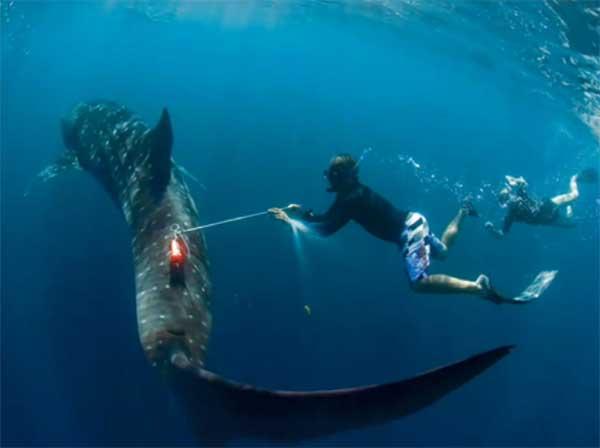 Colocando sensores al tiburón ballena