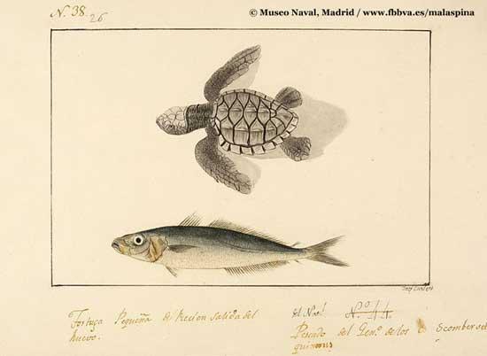 tortuga y pescado, lámina expedición Malspina