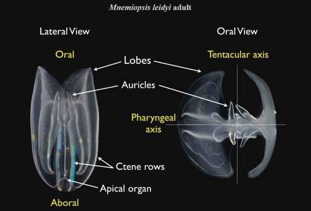 Mnemiopsis leidyi partes del cuerpo