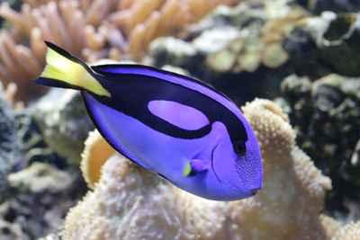 pez cirujano regal azul (Paracanthurus hepatus)