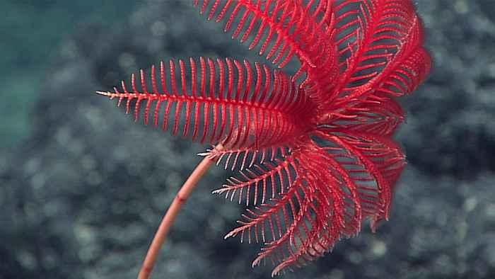 Proisocrinus ruberrimus