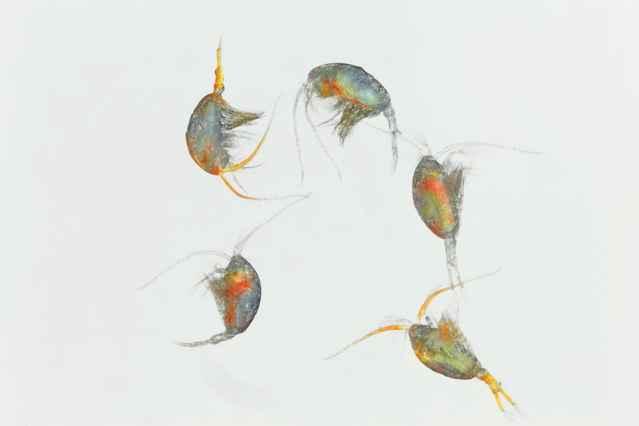 Temora longicornis