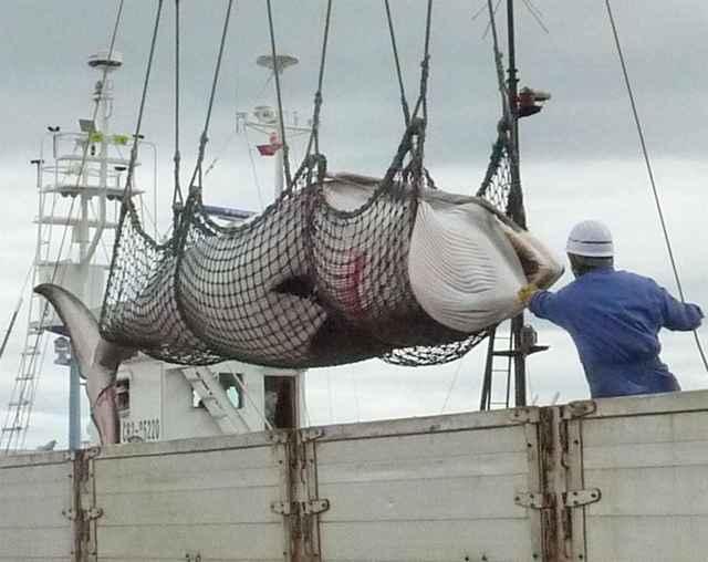 ballena minke muerta en la Antártida por Japón
