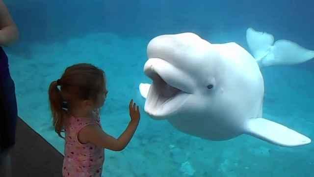 beluga cautiva en un acuario juega con una niña