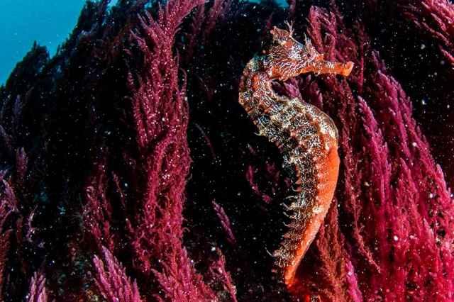 caballito de mar entre algas
