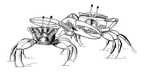 combate entre cangrejos violinista machos