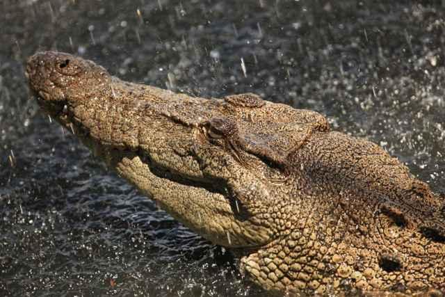 cocodrilo marino de Australia (Crocodylus porosus)