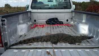 cocodrilo del Nilo encontrado en los Everglades en 2014