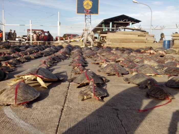 comercio ilegal de tortugas marinas