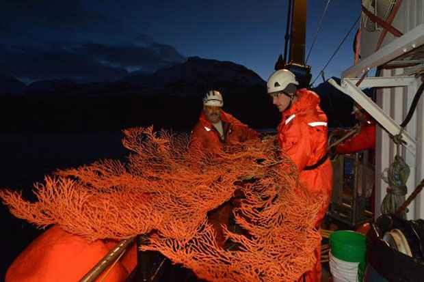 coral arbol rojo de Alaska