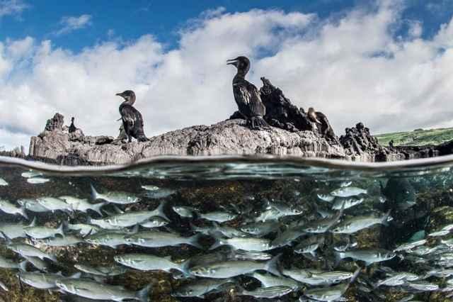 cormoranes no voladores de las Islas Galápagos