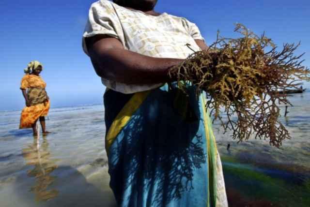 cultivo de algas spinosum en Zanzibar