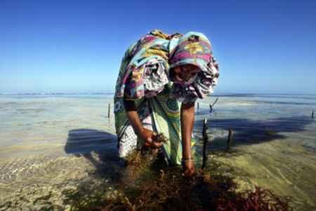 cultivo de algas en Zanzibar