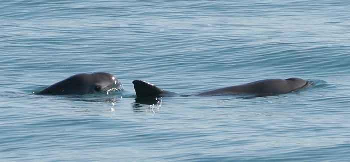 dos vaquitas marinas (Phocoena sinus)