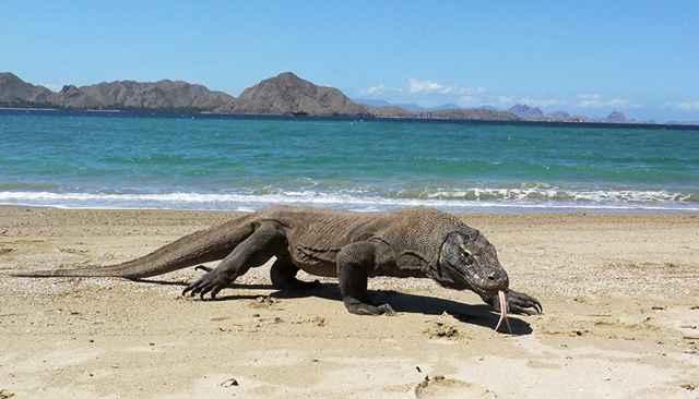 dragón de Komodo (Varanus komodoensis)