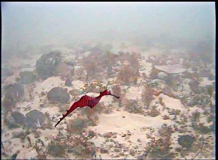 dragón de mar rubí (Phyllopteryx dewysea)