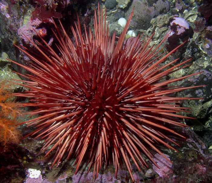erizo de mar rojo Mesocentrotus franciscanus
