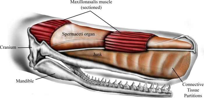 espermaceti de un cachalote