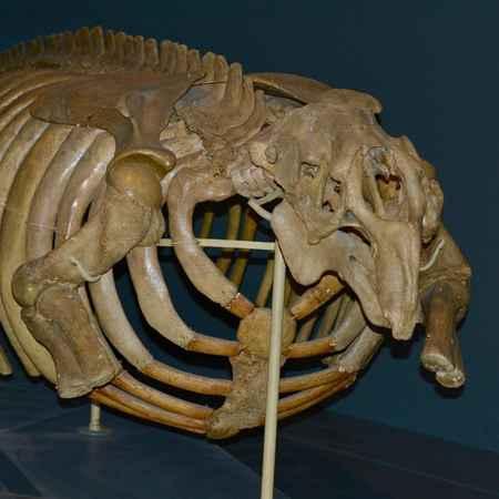 esqueleto de la vaca marina de Steller en el Museo de Helsinki