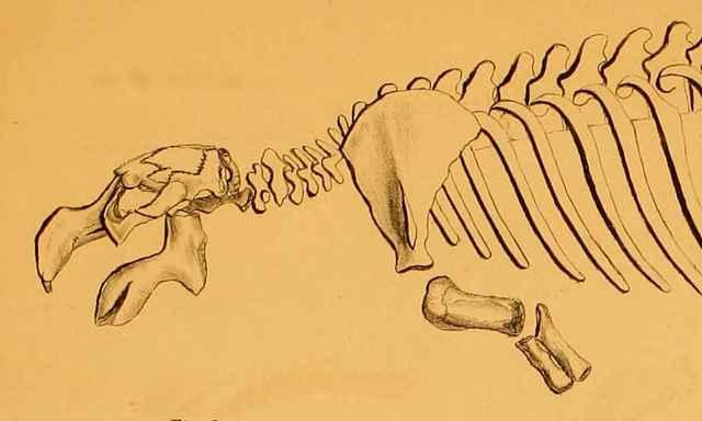esqueleto de vaca marina de Steller