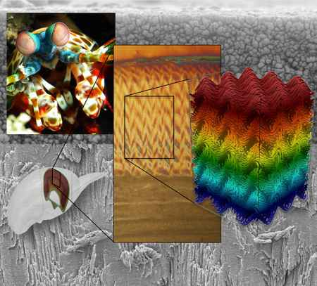 estructura en espiga del dactilopodito del camarón mantis