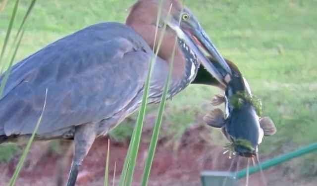garza goliat captura un bagre