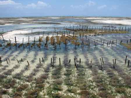 granja de algas en Zanzibar