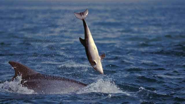 lanzamiento al aire de una cría de delfín
