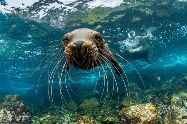león marino juvenil mirando la cámara