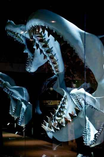 mandíbulas de megalodon en un Museo de Florida