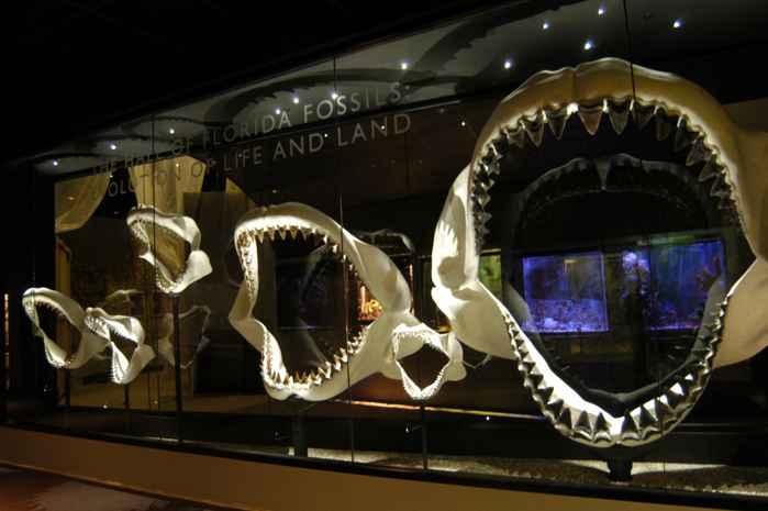 mandíbulas de megalodon